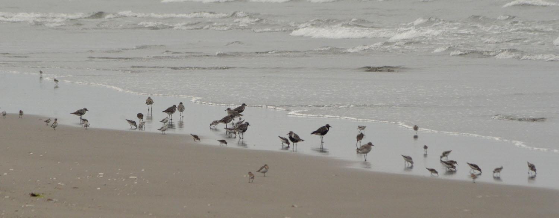 mixed shorebirds