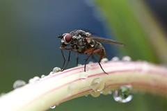 flugor och blomflugor
