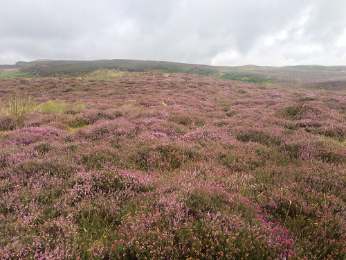 Heather starting to purple up