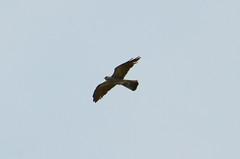 Mississippi Kite, Virginia