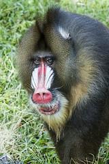 western gorilla(0.0), macaque(0.0), ape(0.0), nose(1.0), animal(1.0), monkey(1.0), mammal(1.0), fauna(1.0), drill(1.0), mandrill(1.0), old world monkey(1.0), wildlife(1.0),