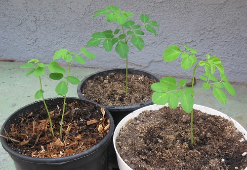My young moringa trees