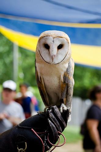 Percy the European Barn owl