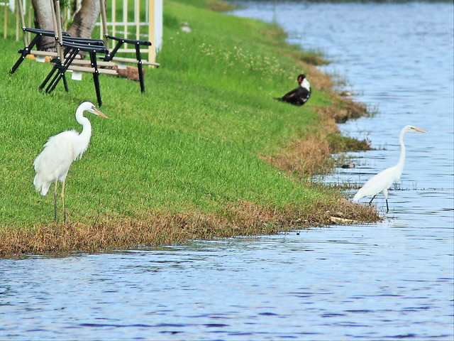 Great White Heron and Great Egret 20140818