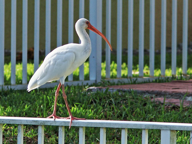 White Ibis on fence 2-20140905