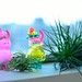 UAMOU and Air plants