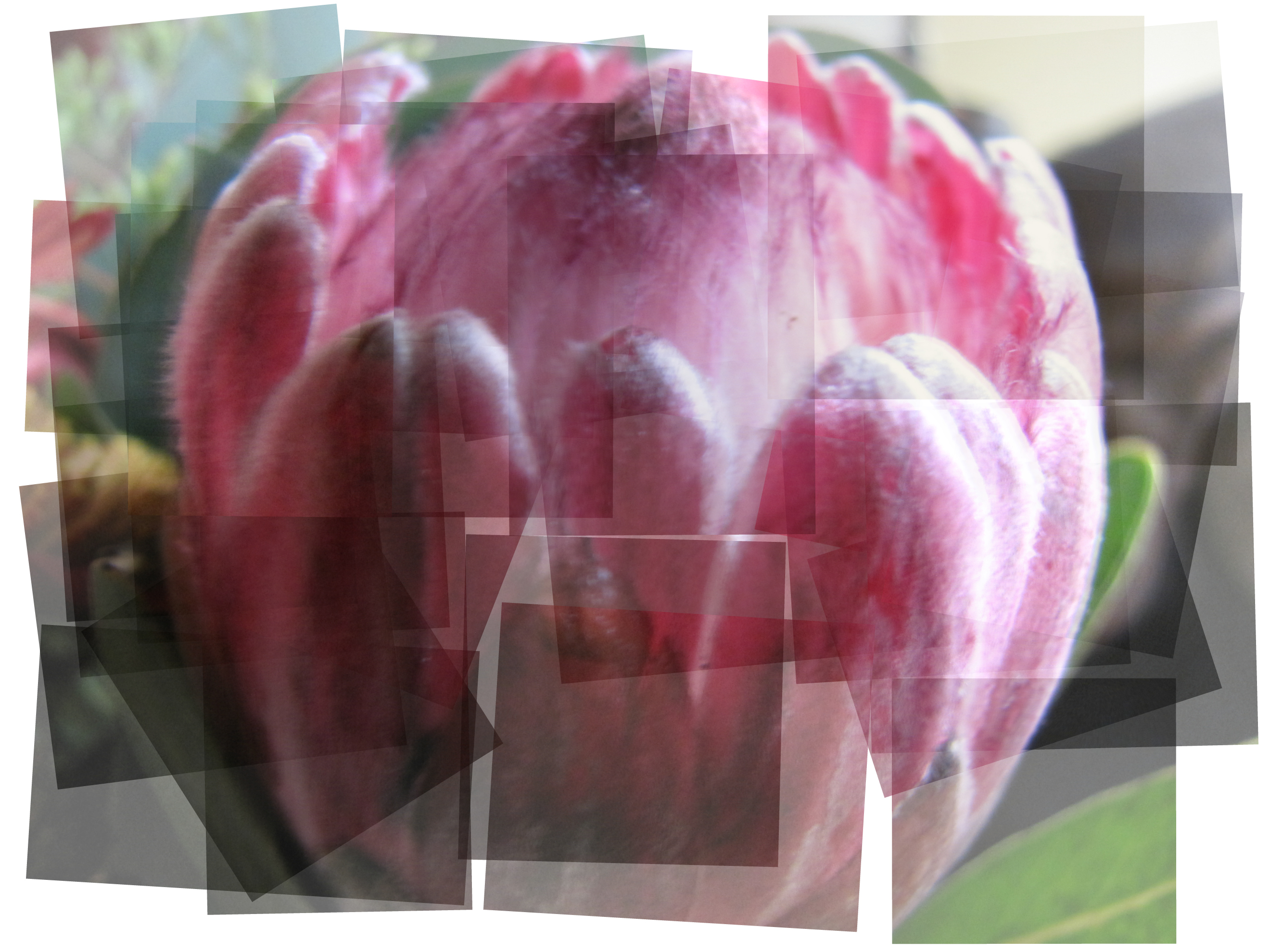 Kooky Protea