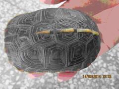 獲救的食蛇龜。(圖:屏東林管處)