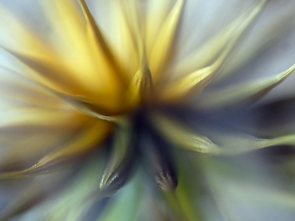 paardenbloem - dandelion
