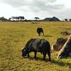 #bufalo en #serengeti