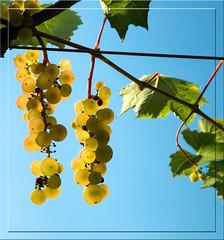 Backlit grapes.jpg