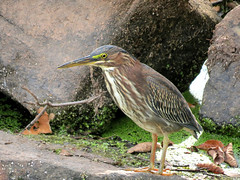 green heron by rocks