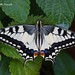 Old World Swallowtail - Photo (c) Marcello Consolo, some rights reserved (CC BY-NC-SA)