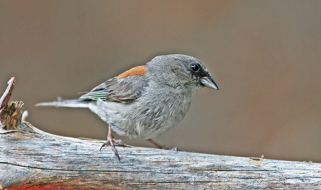 Junco Dark-eyed (Red Back)_7414