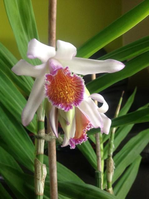 Floraison des orchidées de juin à........... 19337798341_2f00f026ed_z