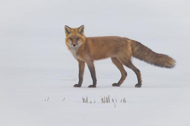 Red Fox Foggy Morning   Vulpes vulpes   Renard rouge