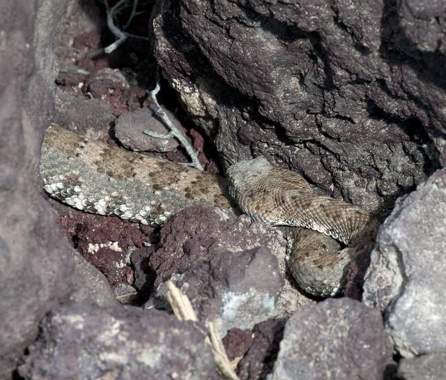 Panamint Rattlesnake 16-03-17, Nikon D300, AF-S Nikkor 300mm f/4E PF ED VR