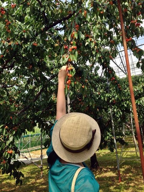 ピュアフルーツ 内田屋. cherry picking
