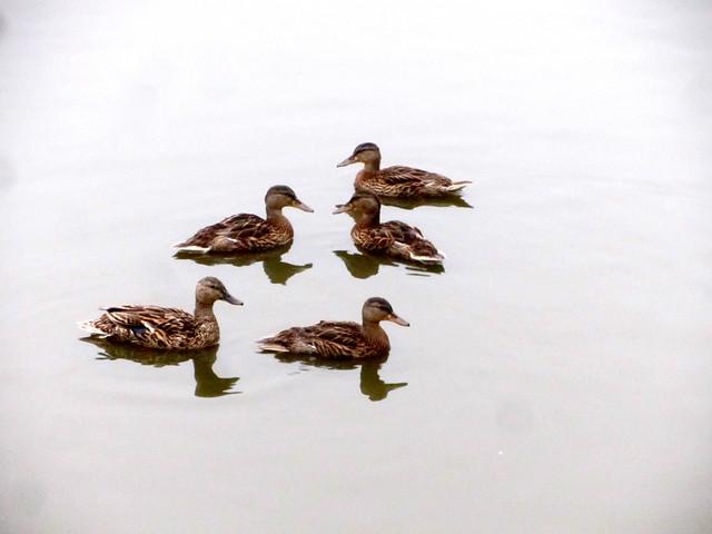 ducklings grown up