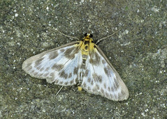 63.025 Small Magpie - Eurrhypara hortulata
