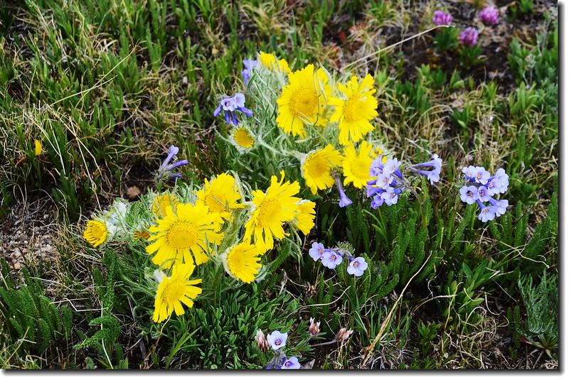 Alpine sunflower 1