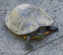 animal, turtle, reptile, marine biology, fauna, emydidae, tortoise,