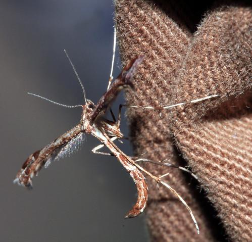 Brown Plume Moth 30071