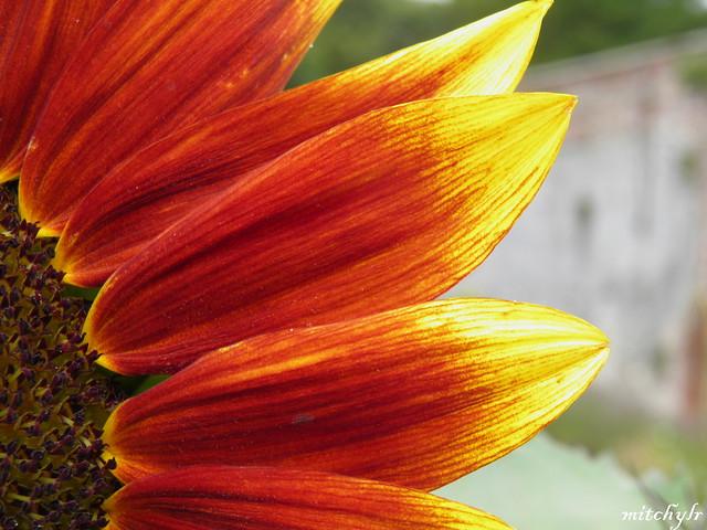 Red Sunflower Detail 2