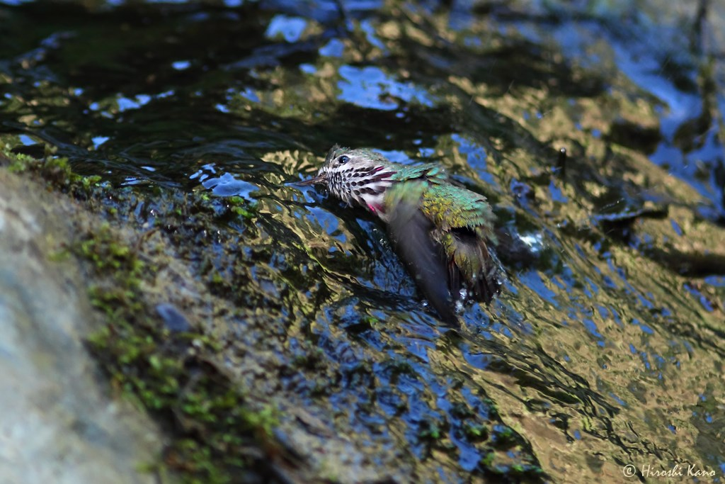 Calliope Hummingbird 280714