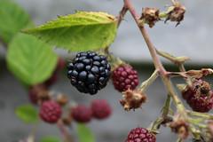 blackberry, shrub, berry, branch, wine raspberry, fruit, boysenberry, bramble,