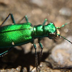 6-Spotted Tiger Beetle @olloclip #macro #insect