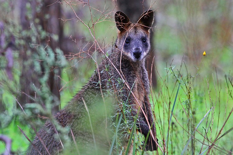 Swamp Wallaby N Bartlett jpg