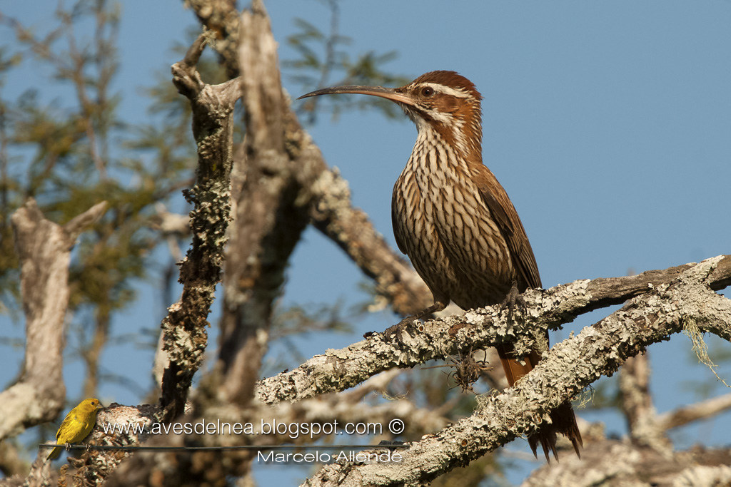 Chinchero grande (Scimitar-billed Woodcreeper) Drymornis bridgesiiChinchero grande (Scimitar-billed Woodcreeper) Drymornis bridgesii