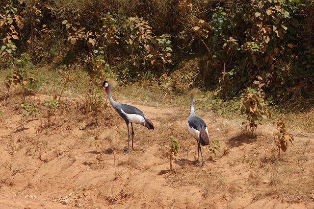 140624 Grey Crowned Crane (2)