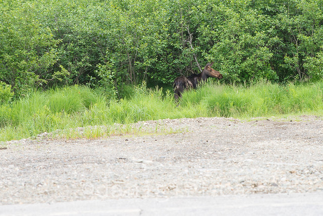 My Maine moose