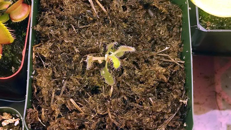 Baby Drosera adelae