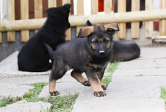 german shepherd dog(0.0), lapponian herder(0.0), bohemian shepherd(0.0), police dog(0.0), east-european shepherd(0.0), dog breed(1.0), animal(1.0), puppy(1.0), dog(1.0), pet(1.0), street dog(1.0), mammal(1.0),