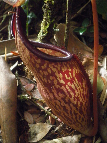 Nepenthes plant
