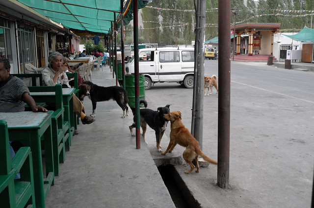 Nimmu dogs. Ladakh, 08 Aug 2014. L096