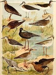 """Image from page 534 of """"Atlante ornitologico : uccelli europei : con notizie d'indole generale e particolare"""" (1902)"""