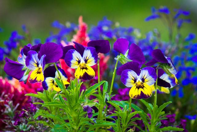 Flowers, Garden, Viola, Violet, Violets, Colorful, Variety