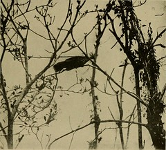 """Image from page 334 of """"Bird lore"""" (1899)"""