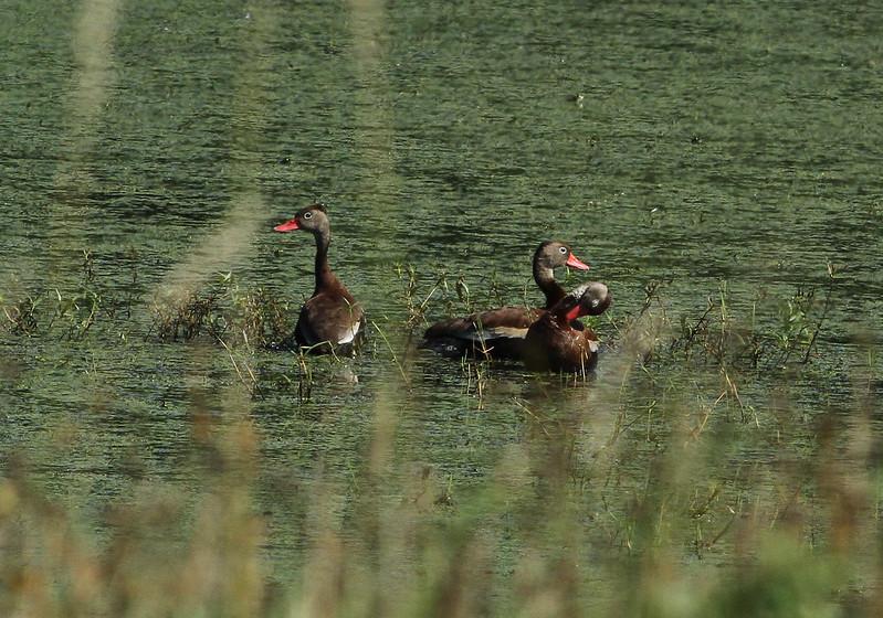 Black-bellied Whistling Ducks Grand River (1 of 2)
