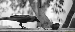 காக்கை சிறகினிலே ...  - The Smart Bird