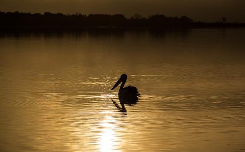 sunset bird beautiful swansea sunrise canon pelican tasmania tasmanian pelecanusconspicillatus eastcoasttasmania canonef24105mmf4lisusm canon60d discovertasmania