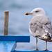 Caspian gull  (Larus (argentatus) cachinnans) Sárgalábú sirály