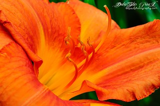 """Orange Daylily"" - the color of Passion, my favorite as always ...  — at Gibbs Garden, Ballground , Georgia - USA"