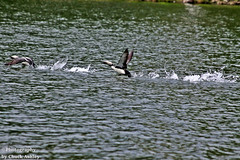 Pacific Loons Taking Off W 5730