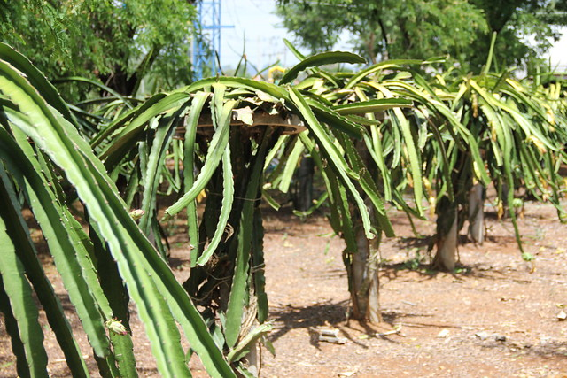 Rows of dragon fruit trees