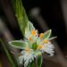 Flor de la plumilla (Trichopetalum plumosum) by Mae_*